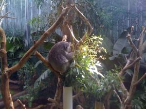A napping Koala